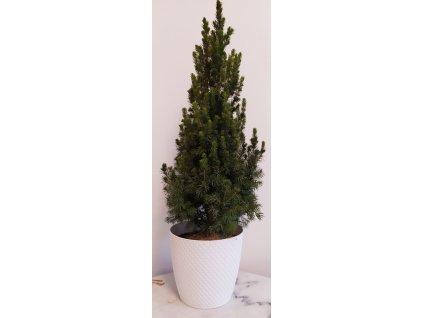 """Smrk sivý """"Conica"""" 40-60 cm + květináč Bílý"""