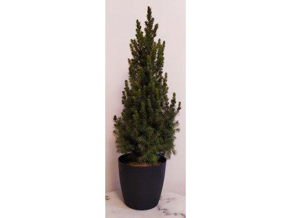 """Smrk sivý """"Conica"""" 40-60 cm + květináč Antracit"""