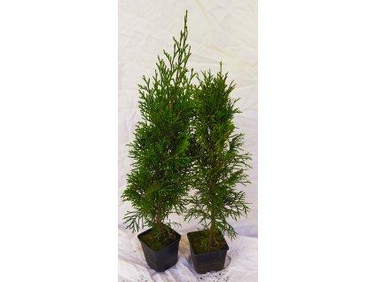 Thuje Smaragd 30-40cm