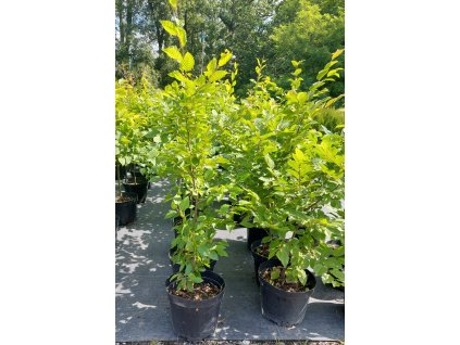 "Habr obecný ""Carpinus betulus"" 100-125 cm"