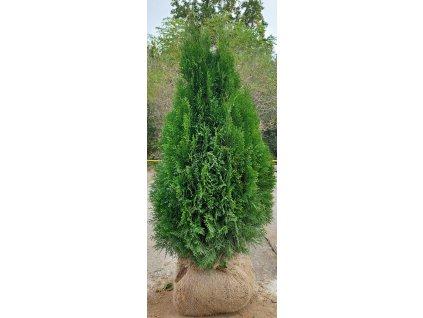 Thuje Smaragd EXKLUSIV  110-130cm
