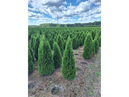 Thuje Smaragd EXKLUSIV 130-150cm