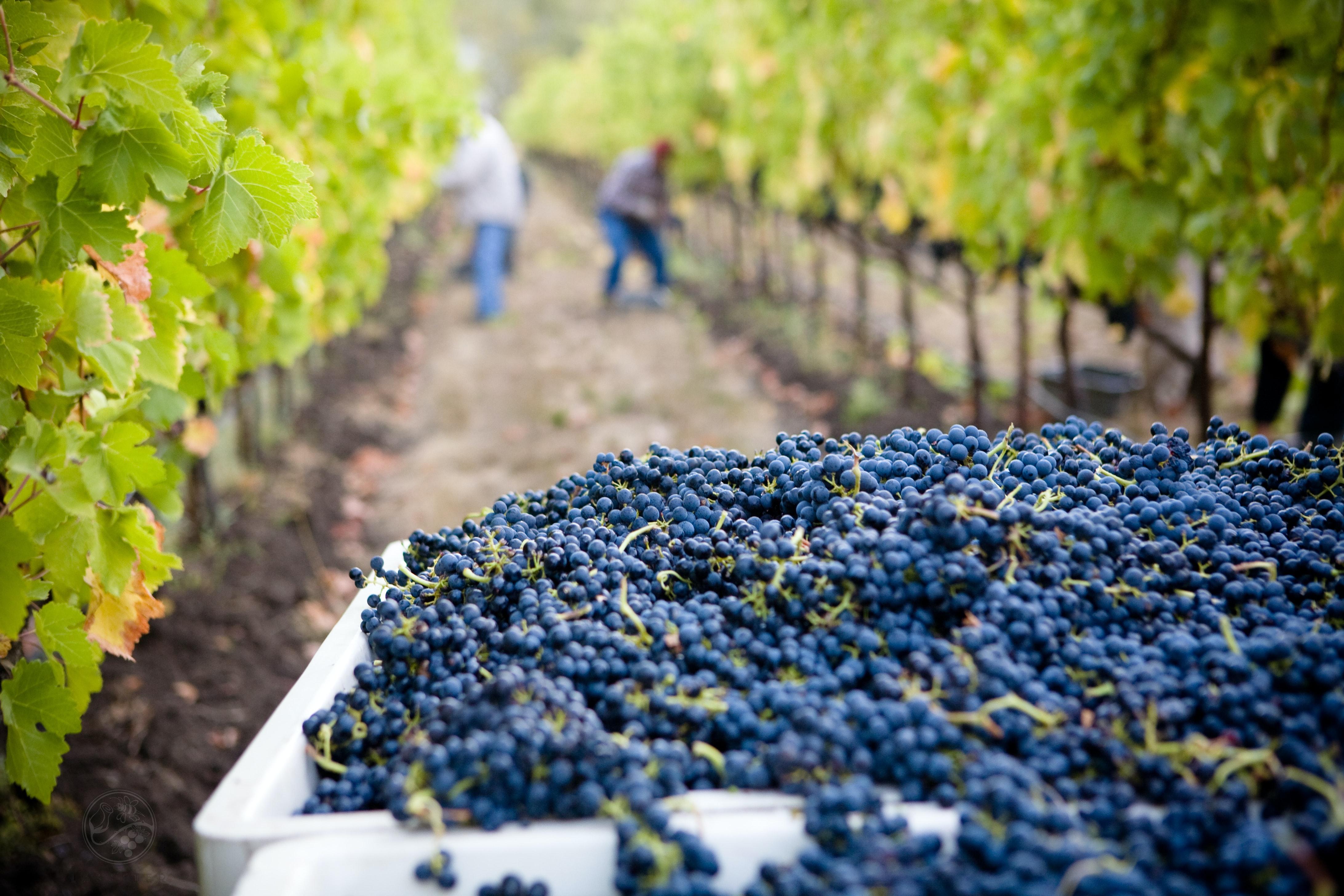 Brigáda na toskánské vinici a v olivovém sadu