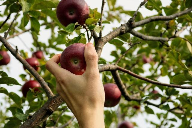 Zavlažování ovocných stromků chrání před suchem