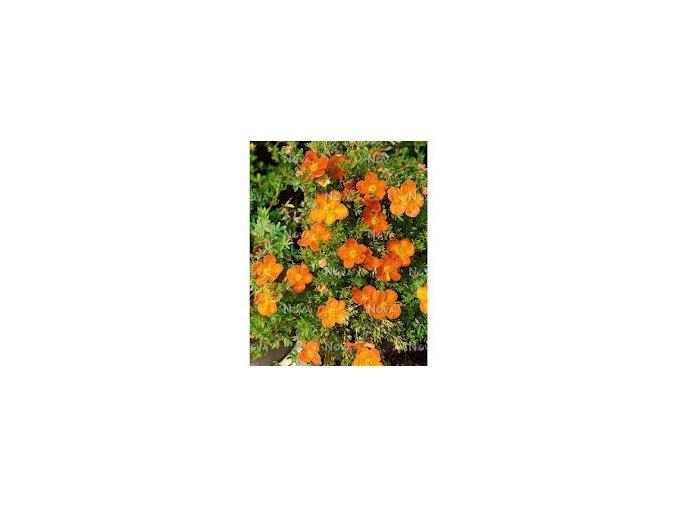 Potentilla fruticosa - mochna křovitá pomerančová