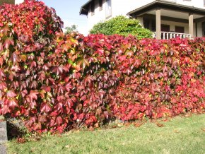Parthenocissus quinquefolia - Přísavník pětiprstý