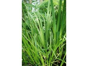 Puškvorec obecný Acorus calamus zelená