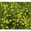 Potentilla fruticosa - mochna křovitá žlutá