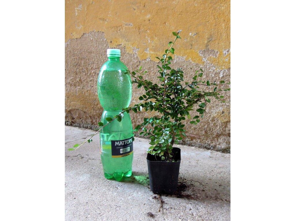Cotoneaster integerrimus - skalník celokrajný