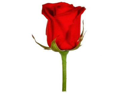red rose44 (1)