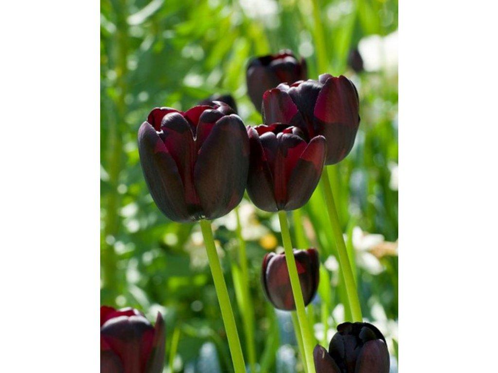 tulipa queen of night2