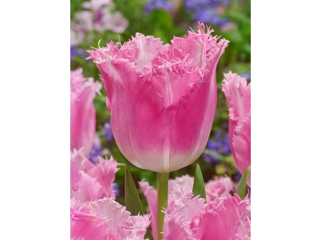 tulipa fancy frills 10