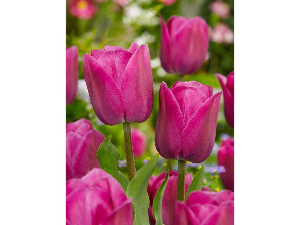 tulipa barcelona 2