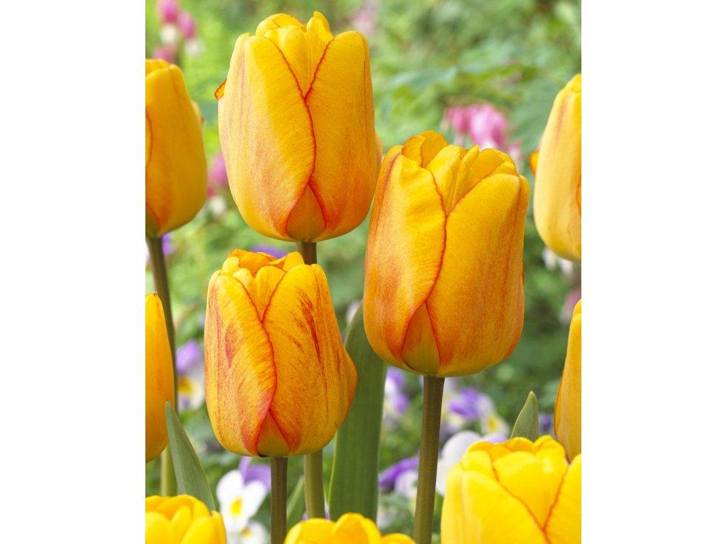 tulipa blushing apeldoorn gg 3