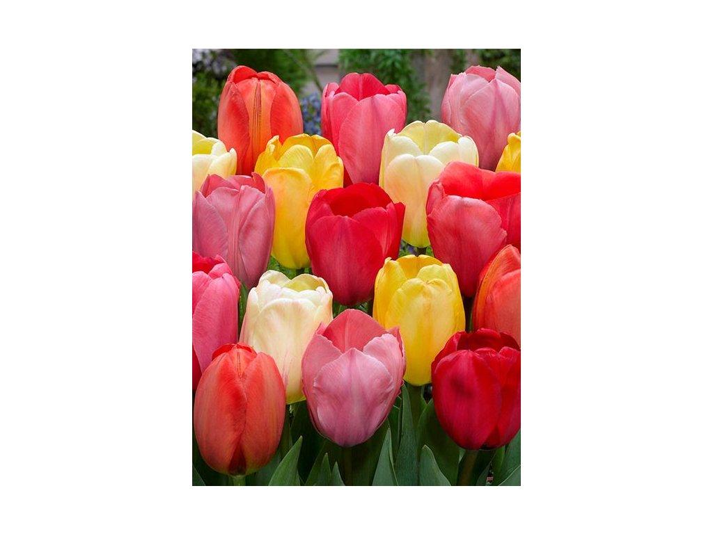 tulipa darwin mix 11