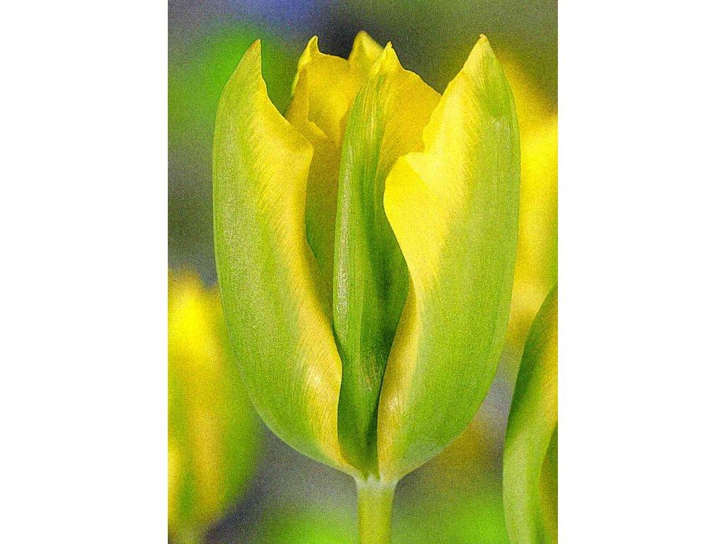 tulipa formosa 4