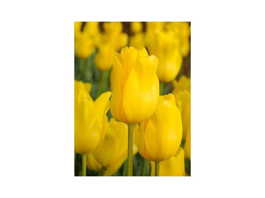 tulipa jan van nes 1 8