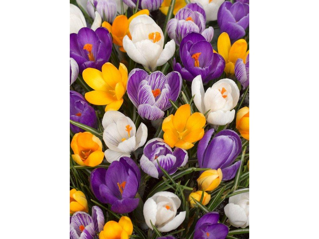 crocus large flowering mixed 1 12