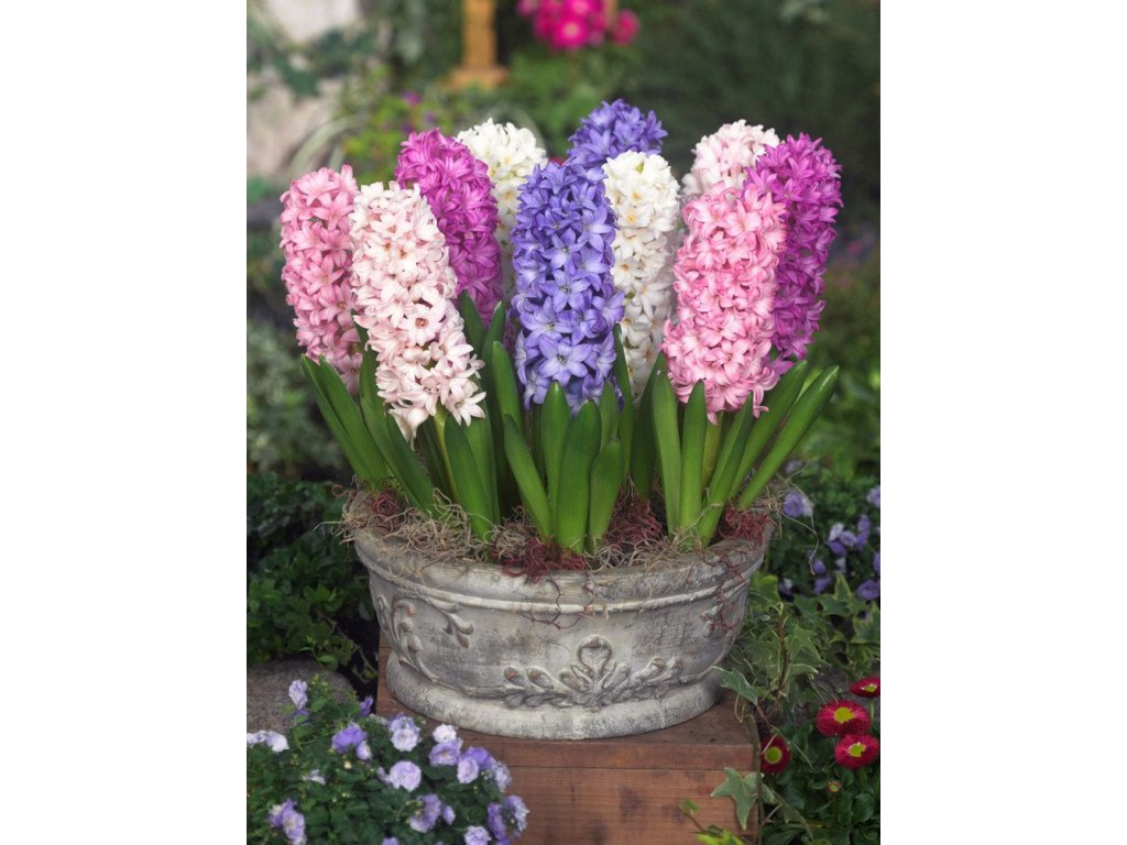 hyacinthus orientalis mixed container 6