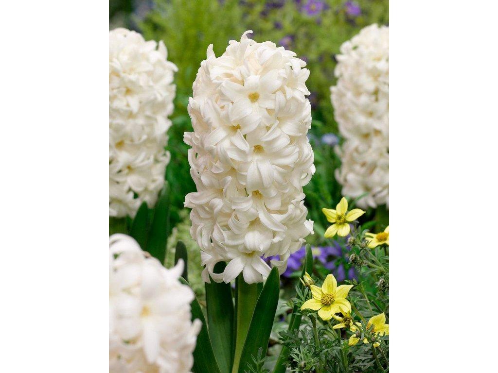 hyacinthus orientalis carnegie 34