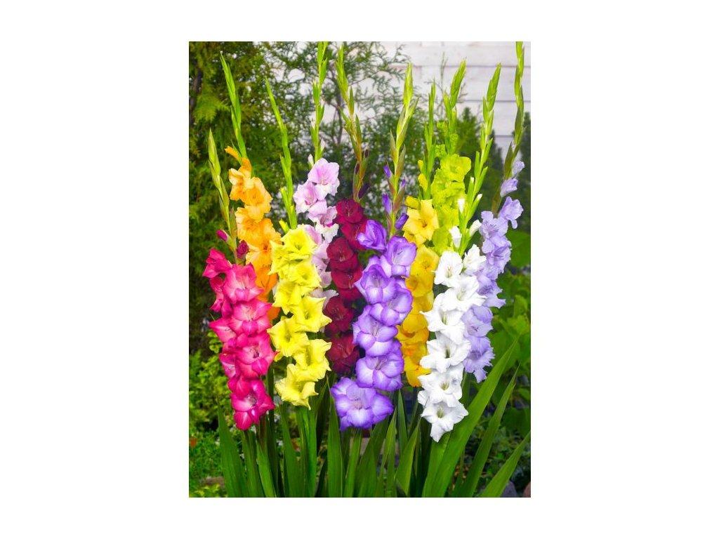 gladiolus mixed 8