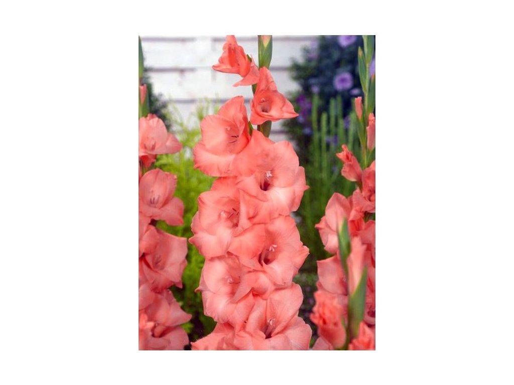 gladiolus spic and span fa 1