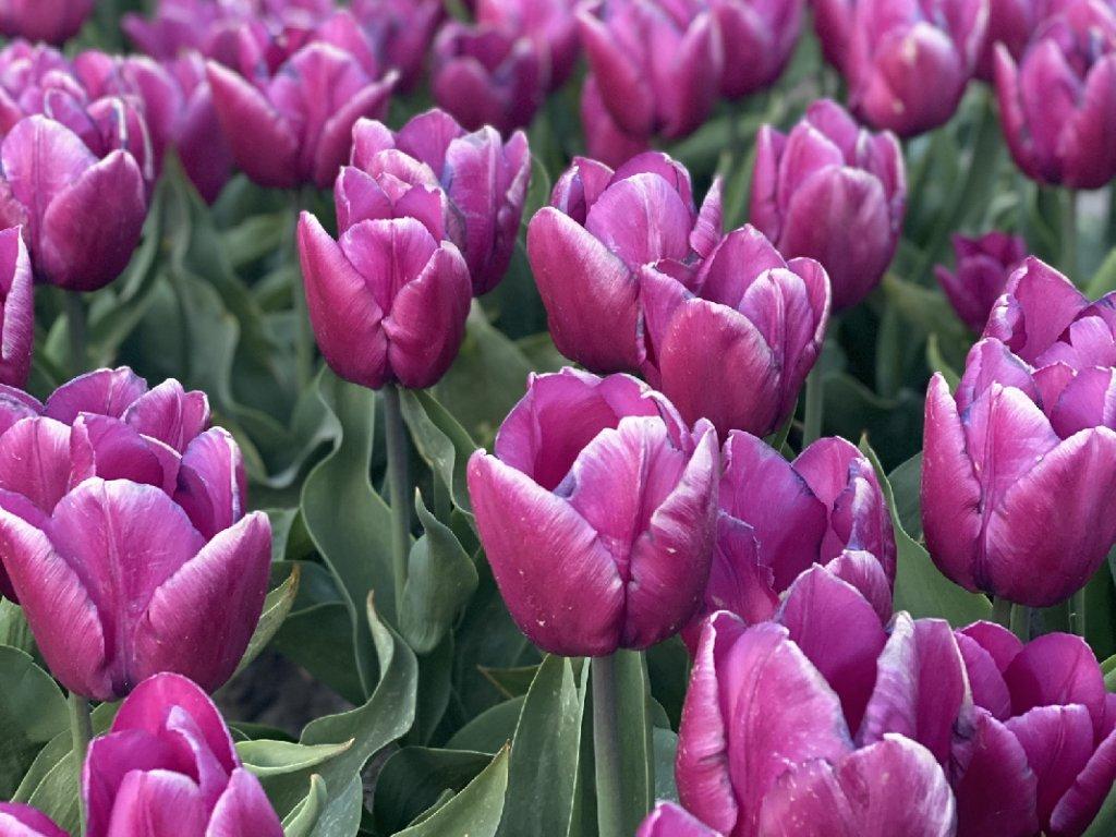 purpleprince1
