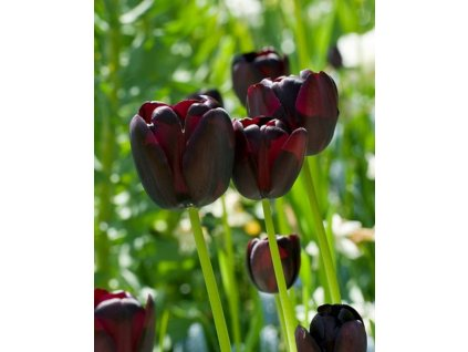 tulipa queen of night2