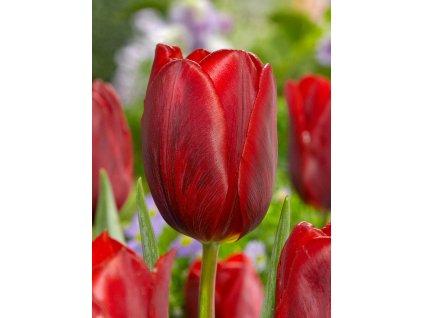 tulipa couleur cardinal 1 3