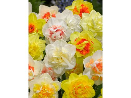 narcissus double mixed 2 1