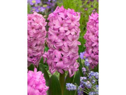 hyacinthus orientalis fondant 11