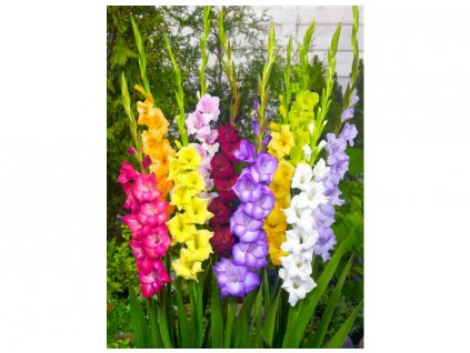 gladiolus mixed 8