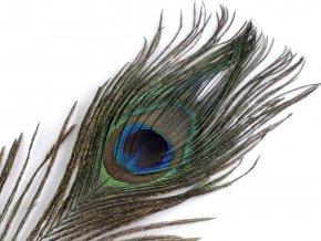 Paví peří délka 20-30 cm