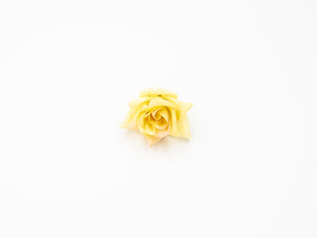 Růže 007 žlutá