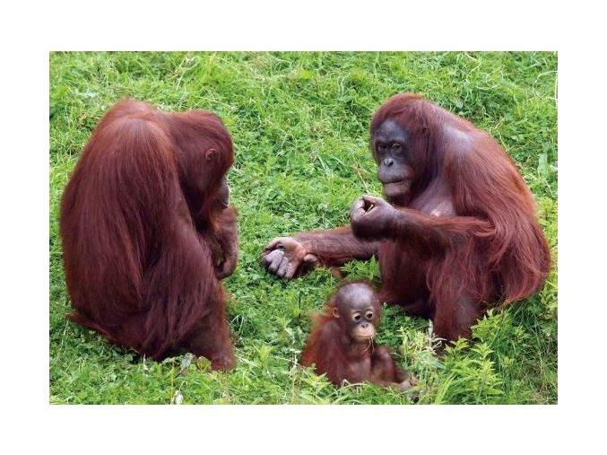 EAEC58CD 9ACA 4FEF 9714 4CD68B00AEED magnet 3d orangutan c1037471