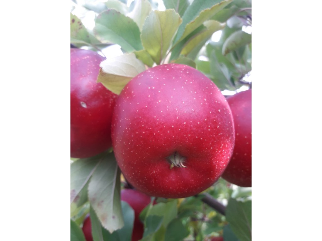 Jablka Šampion - 21,90 Kč/kg