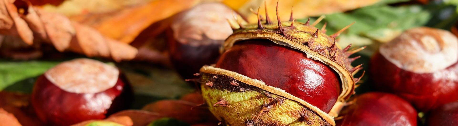 chestnut-1710788_1920