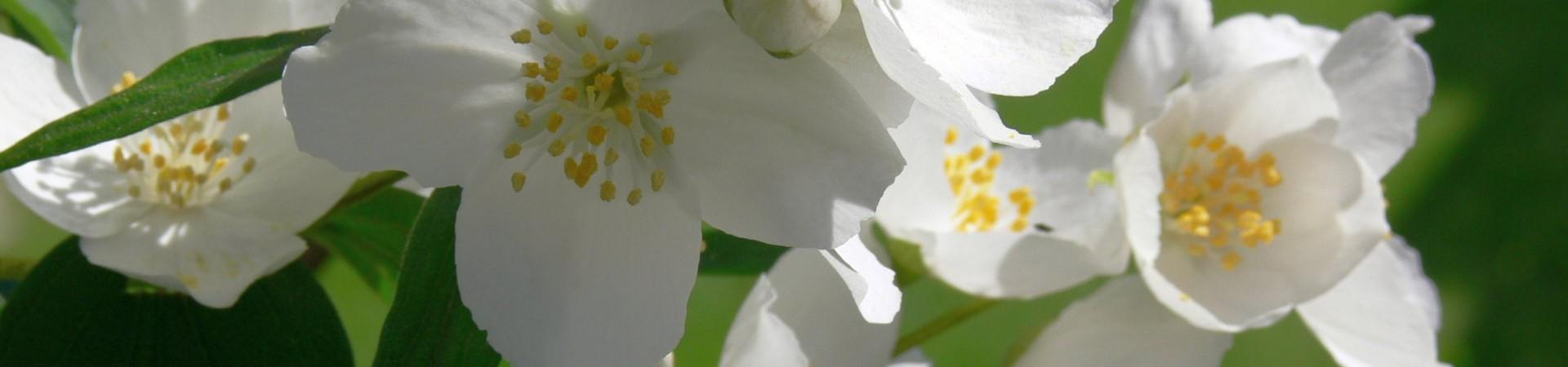 jasmín-květ