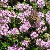Thymus serpyllum Mateřídouška rostlina