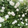 SoZole rose BIO Květová voda Bílá růže