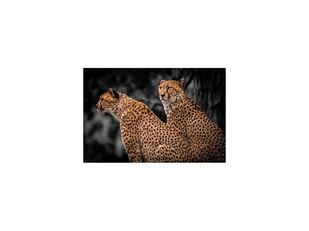 obraz na hliníku 120x180cm - 2 LEOPARDS