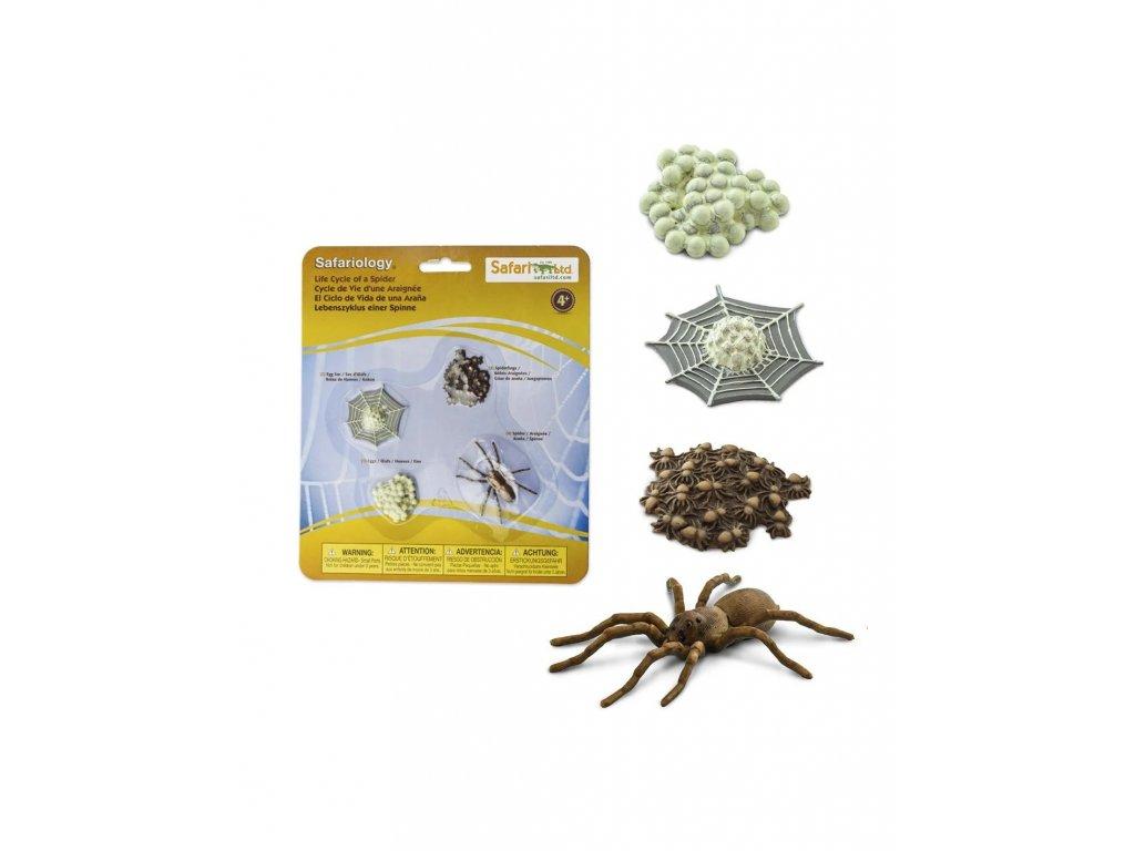 zivotni cyklus pavouk