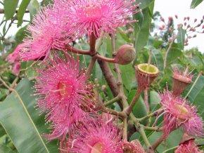 austrálsky Eukalyptus Eucalyptus