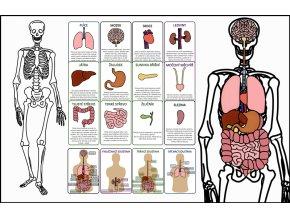 kostra a orgány v těle