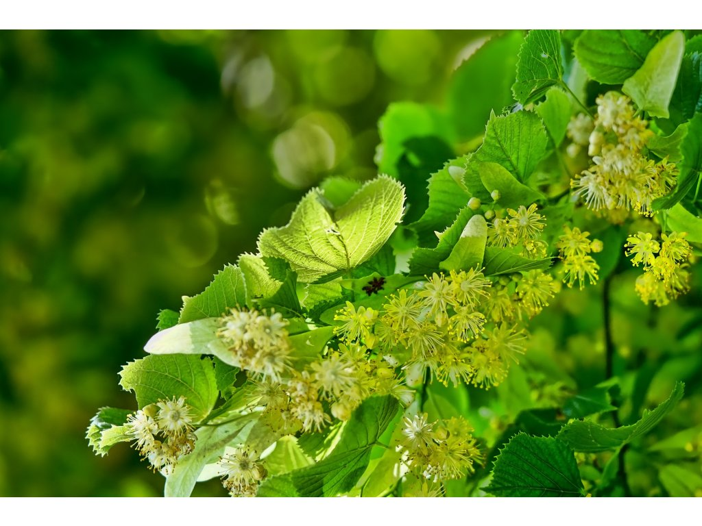 vôňa do mydla Lipový kvet