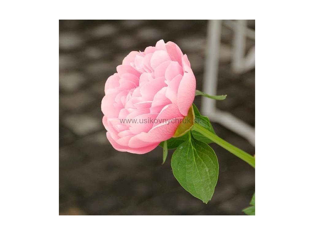 Vôňa do mydla a kozmetiky Anglická ruža 10 ml