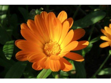 kvet nechtiku