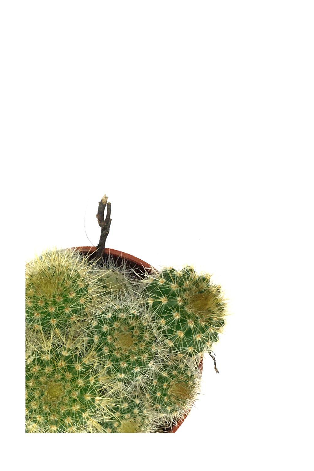 Kaktus malý