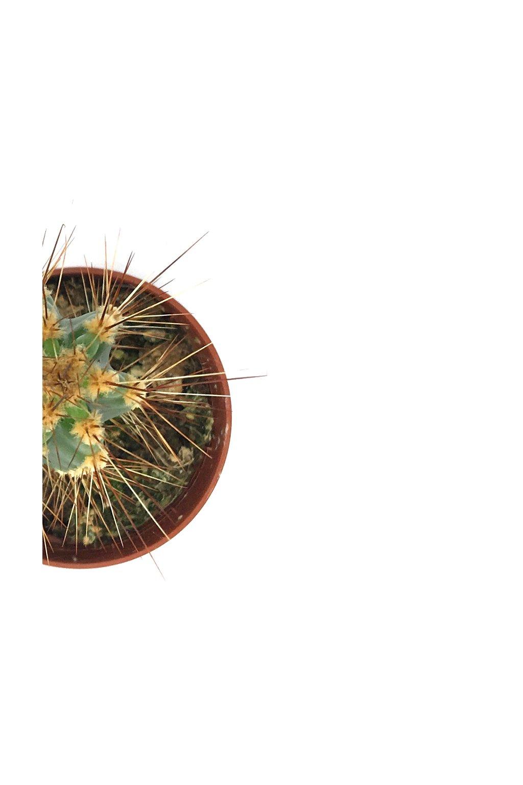 Kaktus malý vysoký