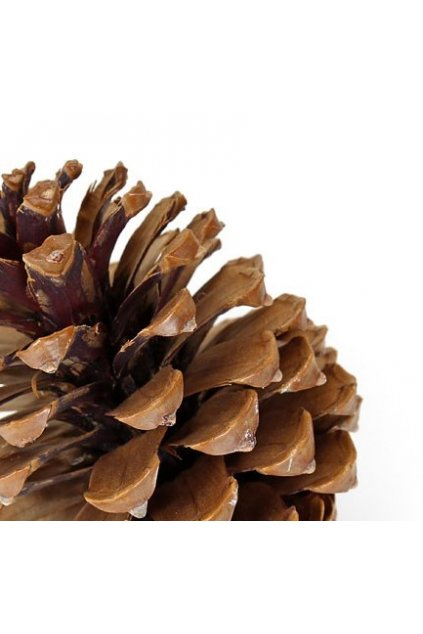large natural pine cone zom